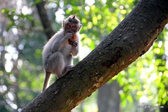 Affe im Affenwald