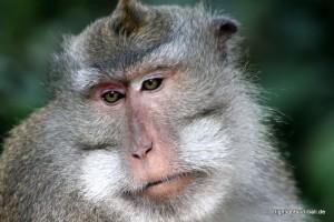 alter Makake auf Bali