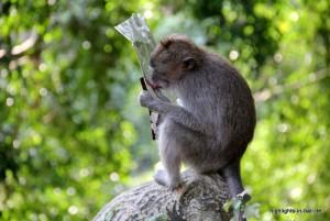 Affe nascht an der Chipstüte