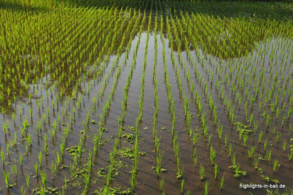Reisfeld unter Wasser