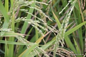Reis kurz vor der Ernte